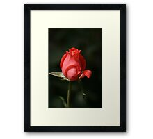 Love of the RED Rose Framed Print