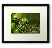 love in the tomatoes Framed Print