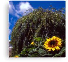 Sunflower, Royal Tasmanian Botanical Gardens Canvas Print