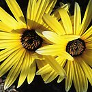 Sunlit Yellow African Daisies by Marilyn Harris