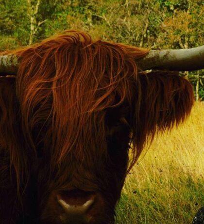 Majestic Highland Cows  Sticker