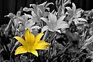 The Gilded Lily  by PhotosByHealy