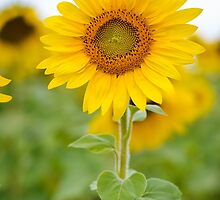 Sunflower by dc42291