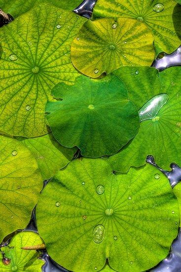 lily pads by njordphoto