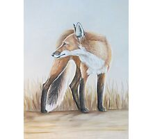 Red Fox Looking Back Photographic Print