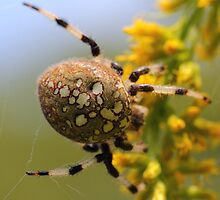 Shamrock Orbweaver on Goldenrod by Kane Slater