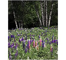 Dance of Lupine and Birch Photographic Print