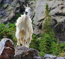 Colorado Mountain Goat by Danielle Marie Photography
