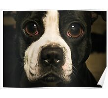 Dog with the Bulging Eyes Poster