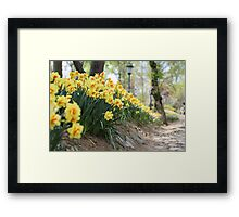 Yellow Daffodils on a Garden Pathway Framed Print