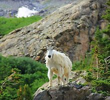 Mountain Goat by Danielle Marie Photography