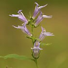 Lobelia sp. 2 by elasita