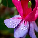 Jeweled fuchsia by Celeste Mookherjee