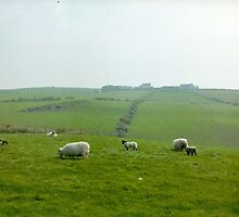 Sheep grazing near Giants Causeway - Norther Ireland by Maureen Hollier - Bosca