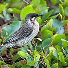 Red Wattle Bird and Ground Cover by mncphotography