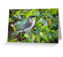 Red Wattle Bird and Ground Cover Greeting Card