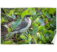 Red Wattle Bird and Ground Cover Poster