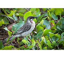 Red Wattle Bird and Ground Cover Photographic Print