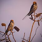Lesser Striped Swallows by Tim Cowley