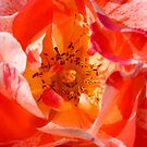 rose by gary roberts