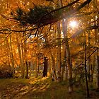 Autumn Aspens by Diana Graves Photography