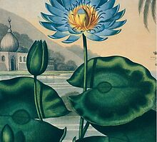 The Blue Egyptian Water Lily by HumanlineImages