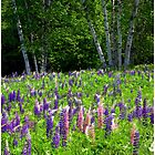 Lupine Glow by Wayne King