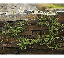 Spleenwort Maidenhair fern on wall at Cashelnagor Photographic Print