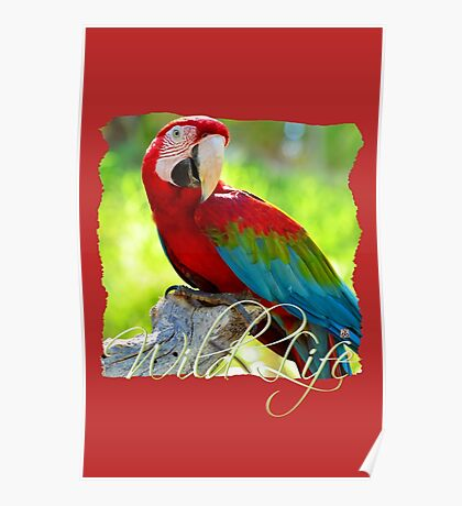 Wild Life Series - Red Macaw Parrot Poster