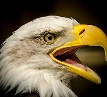 Bald Eagle by Darren Wilkes