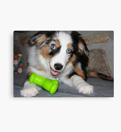AS blue merle puppy with toy Canvas Print