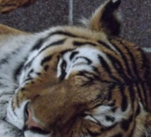 Sleeping Tiger Sticker