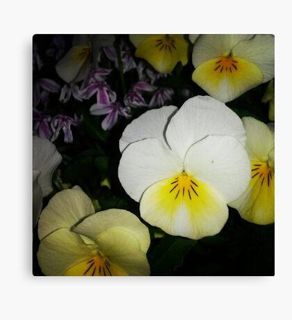 Cute Little Pansy Canvas Print