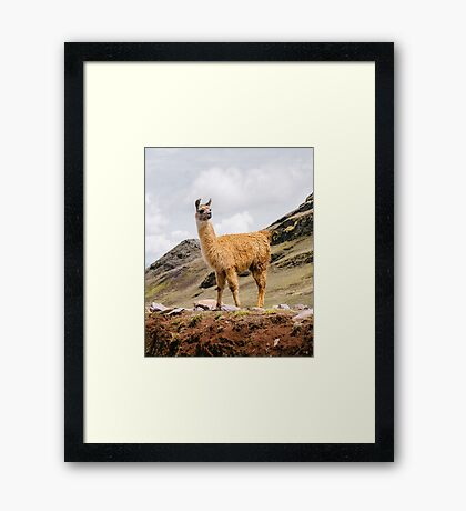 A Llama in the Andes outside of Cusco, Peru Framed Print
