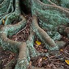 Moreton Bay Fig by Werner Padarin