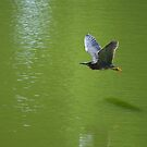 Green Heron In Mid Air by Diego  Re