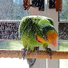 Shower Power - Barraband Parrot - NZ by AndreaEL