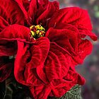 Poinsettia, Winter Rose by Celeste Mookherjee