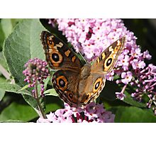 Meadow Argus - Junonina villida Photographic Print