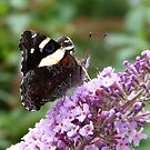 Yellow Admiral 3 by Trish Meyer