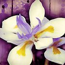 Purple Flower Dietes Photo Art by webgrrl