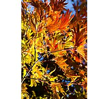 Japanese Maples - 2 Photographic Print