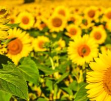 Sunflowers Sticker