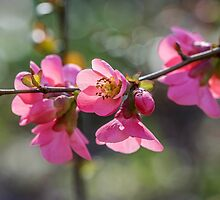 Japonica by TonyPriestley