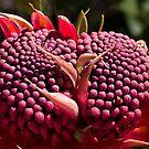 Waratah (Telopea speciosissima) by Ben Shaw