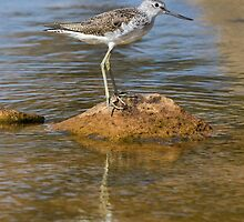 Greenshank by chris2766