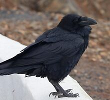 Raven perched on a ledge by chris2766