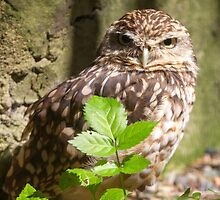 Burrowing owl  by chris2766