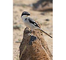 Southern Grey Shrike - Lanius meridionalis Photographic Print