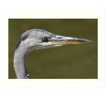 Grey Heron (Ardea cinerea)  Art Print